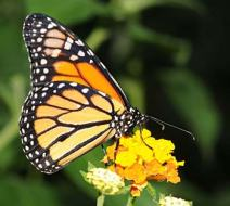 monarch-butterfly-on-flower_img